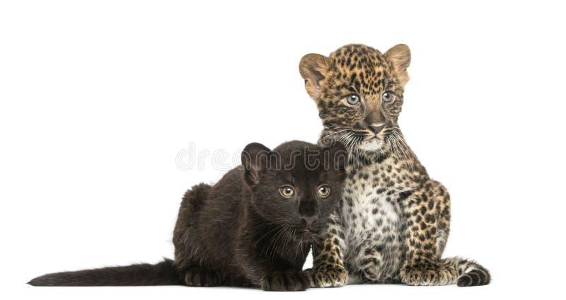 Dois pretos e filhotes manchados do leopardo que sentam-se e que encontram-se próximos um do outro, 3 e 7 semanas velhas imagem de stock royalty free