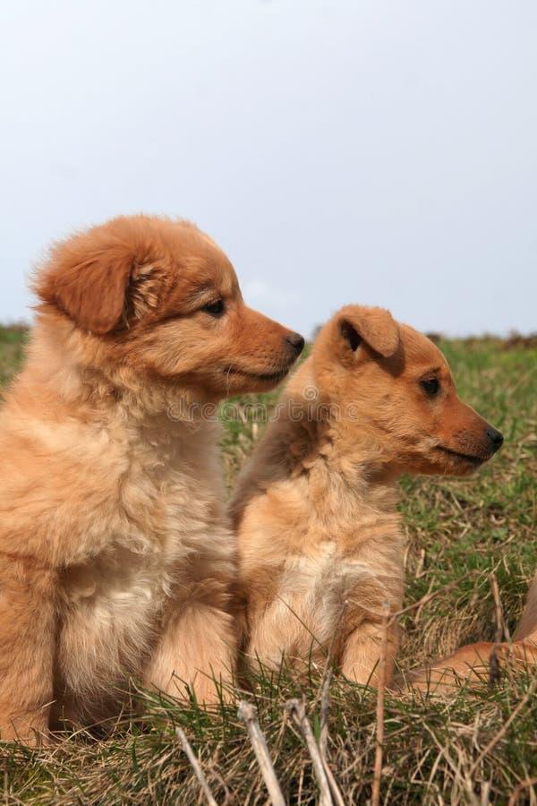 Dois pupies do doggy fotografia de stock
