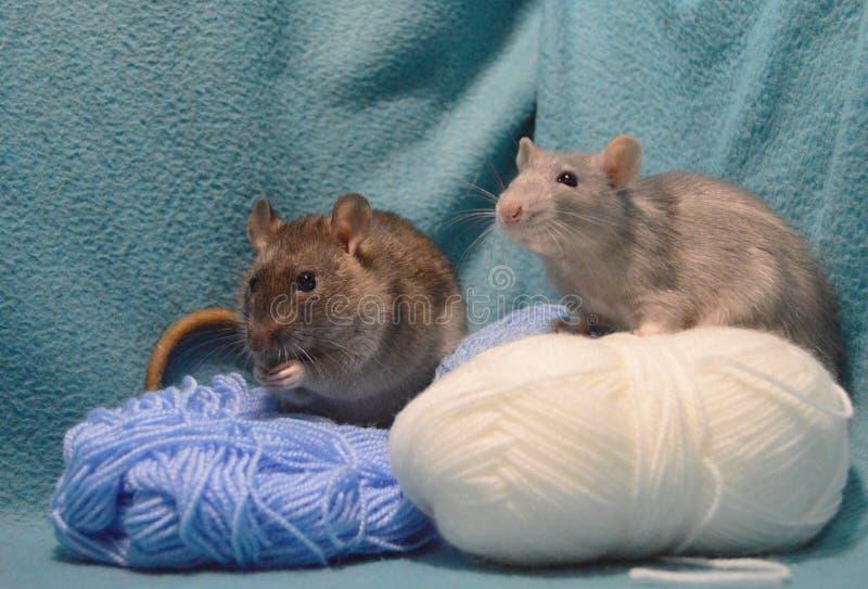 Dois ratos cinzentos bonitos com os skeins de lãs de confecção de malhas em um fundo azul foto de stock royalty free