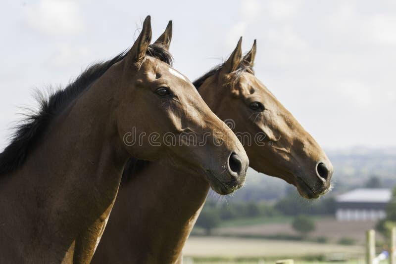 Dois retratos bonitos dos cavalos de baía fotografia de stock