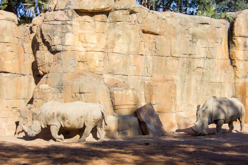Dois rinoceronte branco, simum do Ceratotherium, andando em um ambiente natural imagens de stock royalty free