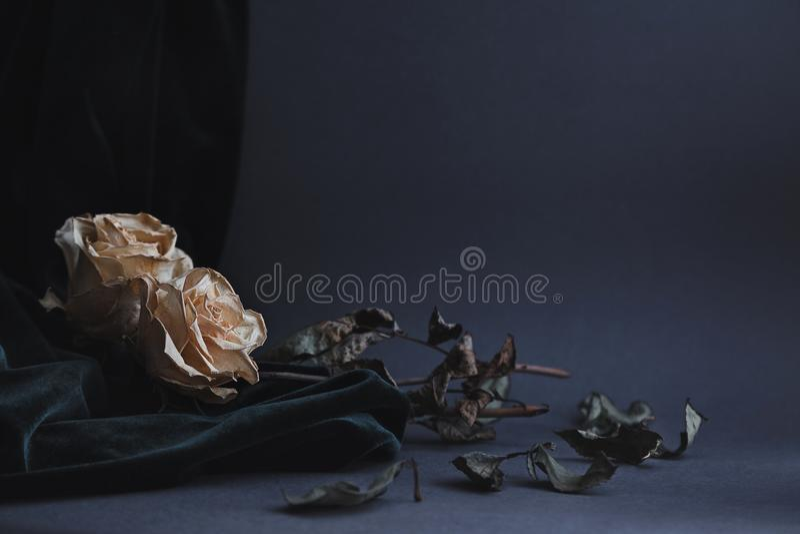 Dois secaram as rosas brancas no fundo cinzento com drapin escuro de veludo fotografia de stock