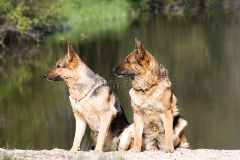 Dois Sheepdogs alemães foto de stock