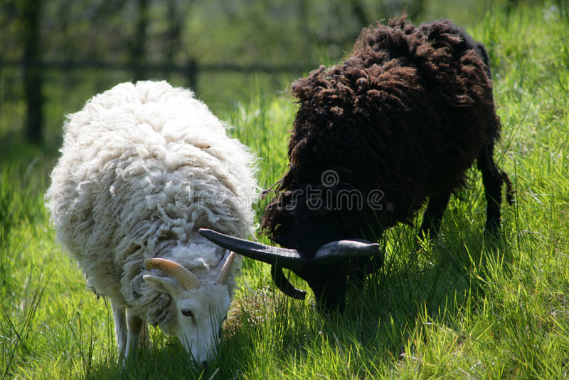 Dois sheeps Yin & Yang fotografia de stock