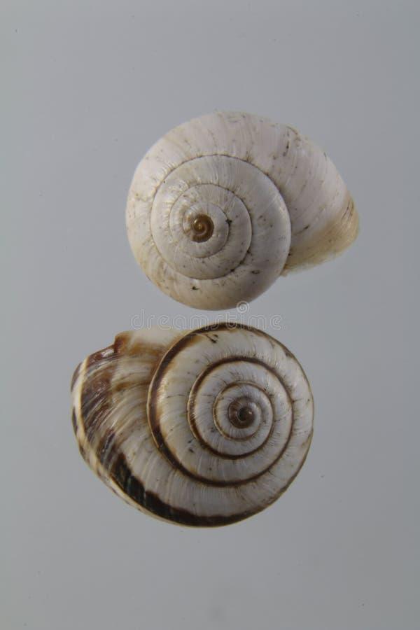 Dois shell vazios do caracol, shell dextrorotatory imagem de stock
