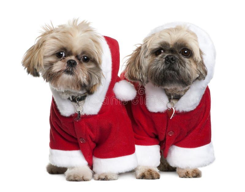 Dois Shi-Tzu nos ternos de Papai Noel, estando foto de stock royalty free