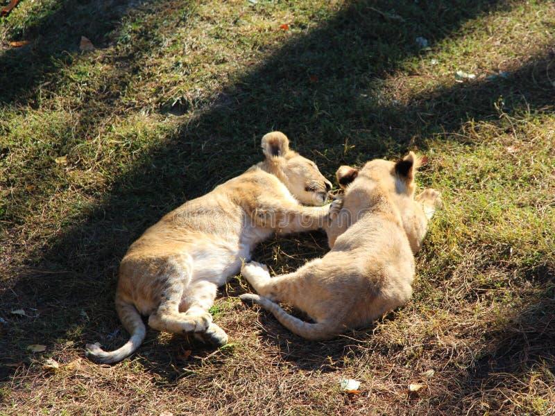 Dois sonos pequenos dos filhotes de leão na terra fotografia de stock royalty free