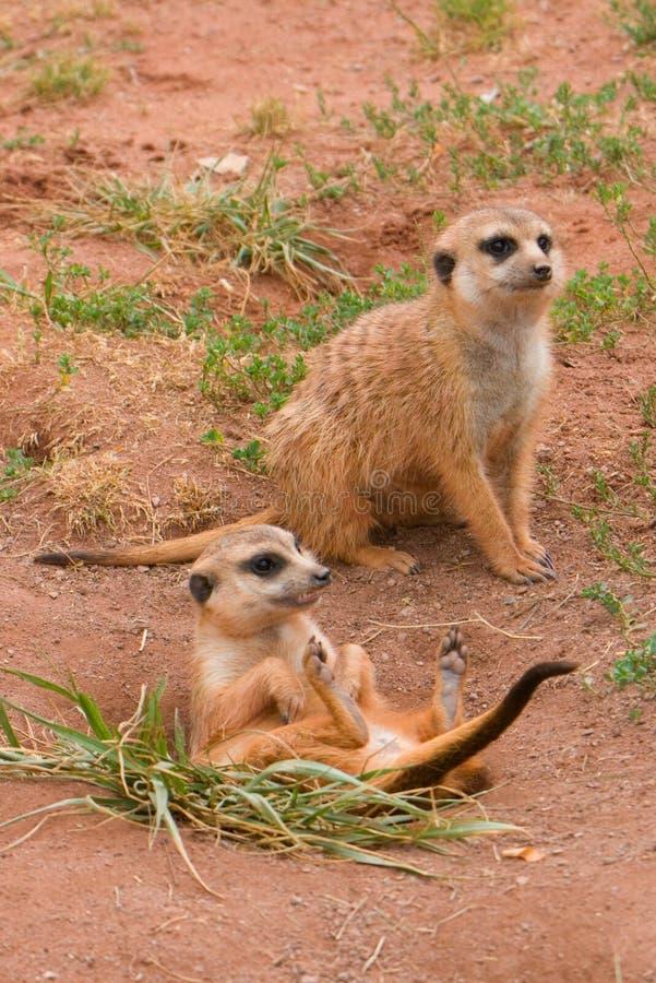 Dois Suritcates, ou Meerkats (suricata do Suricata) foto de stock royalty free