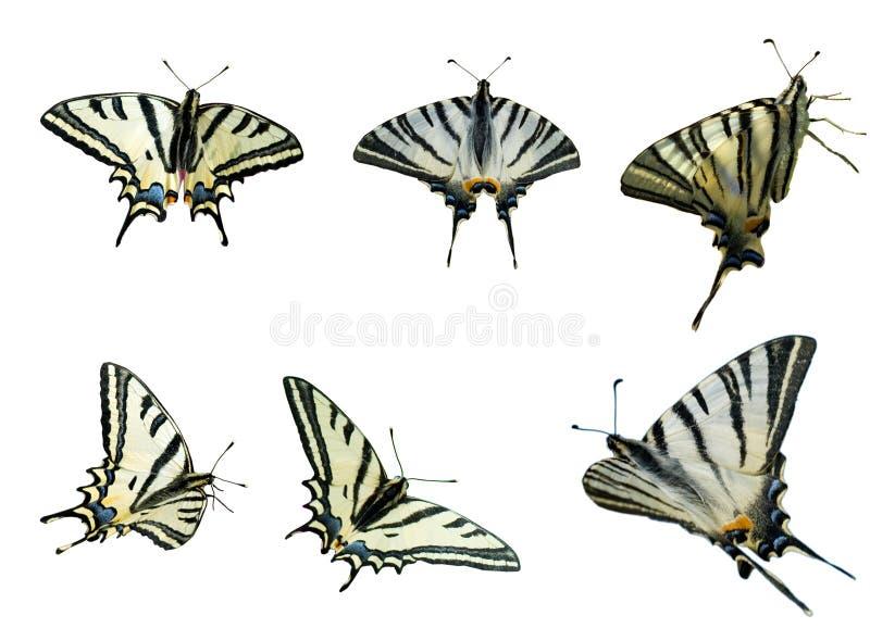 Dois Swallowtails ilustração do vetor