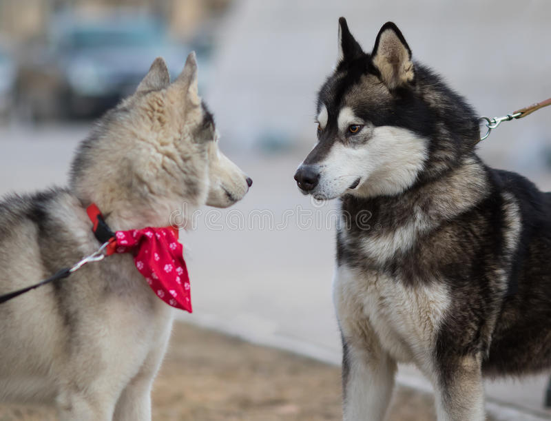 Dois Syberian Husky Dogs Looks entre si Conceito do amor do cão foto de stock