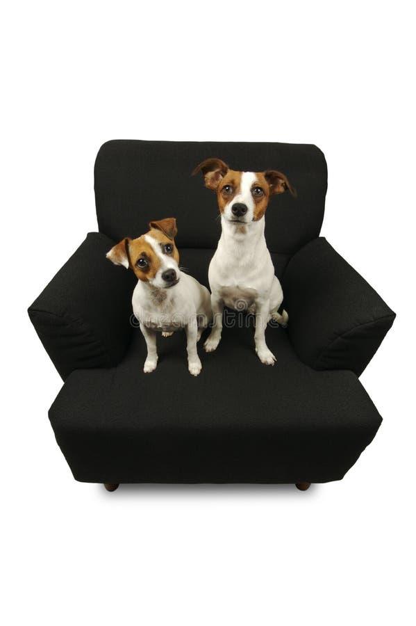 Dois terrier de Jack Russell imagem de stock