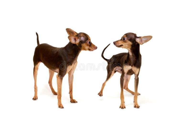 Dois terrier no estúdio foto de stock royalty free