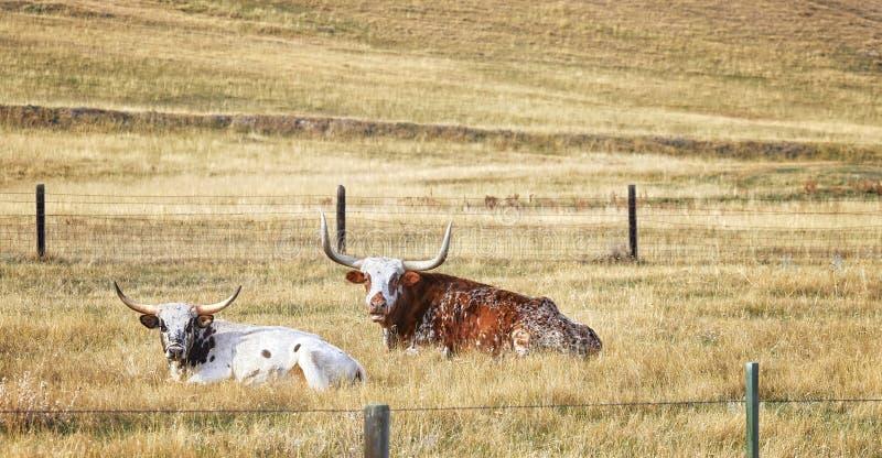 Dois Texas Longhorns que descansa em um prado seco do outono fotos de stock royalty free