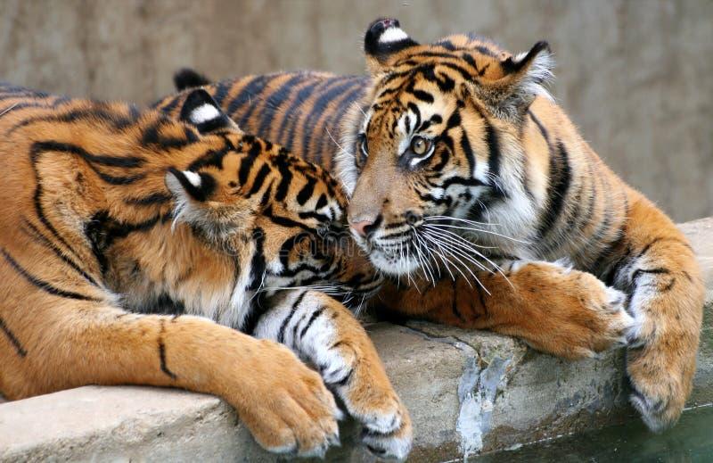 Dois tigres foto de stock royalty free