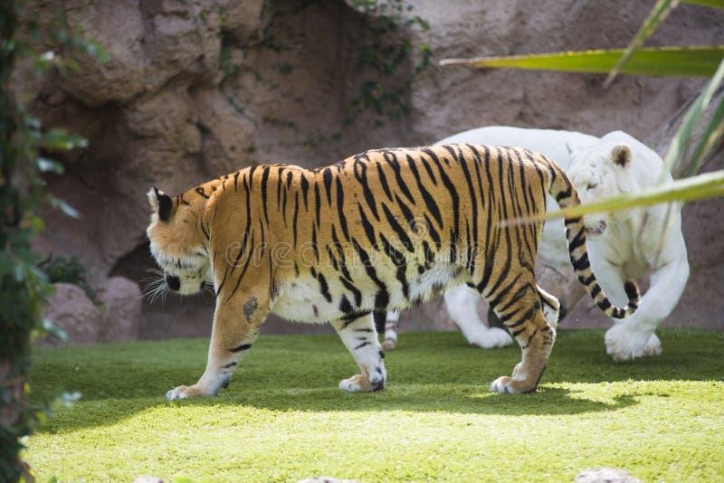Dois tigres imagens de stock royalty free