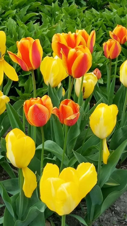 Dois tons das tulipas tomam dois fotos de stock royalty free