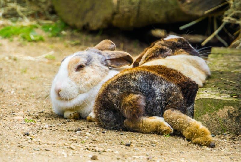 Dois tri coelhos holandeses coloridos que colocam junto na terra, raça holandesa popular do coelho dos Países Baixos imagem de stock royalty free