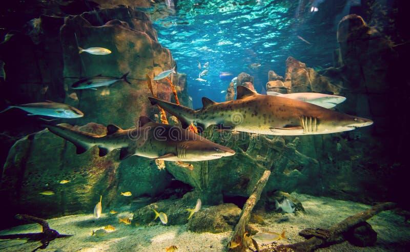 Dois tubarões no aquário fotografia de stock