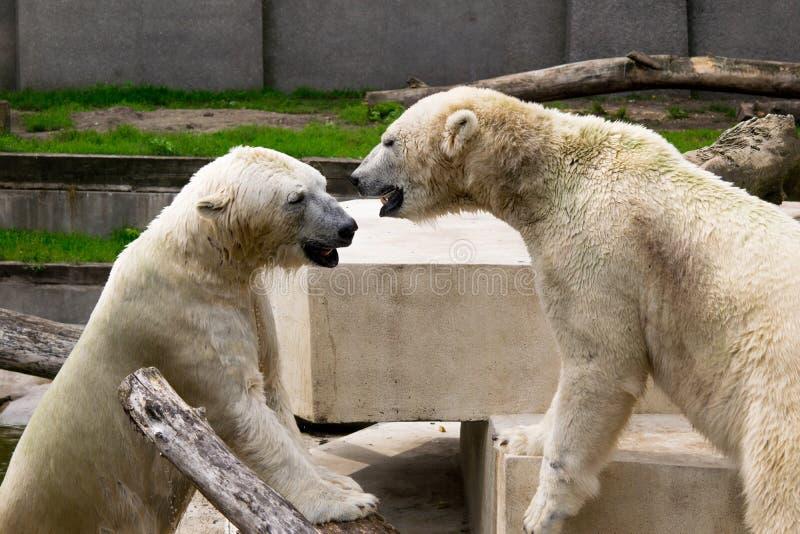 Dois ursos brancos que jogam na luta fotos de stock