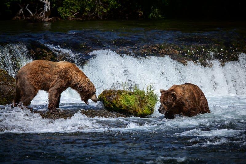 Dois ursos de Brown do Alasca em quedas dos ribeiros, parque nacional de Katmai fotos de stock