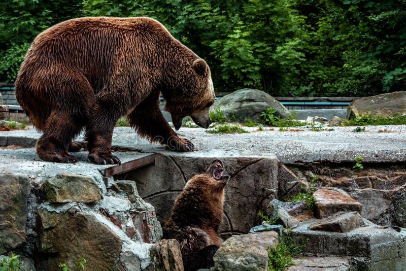 Dois ursos majestosos fotos de stock