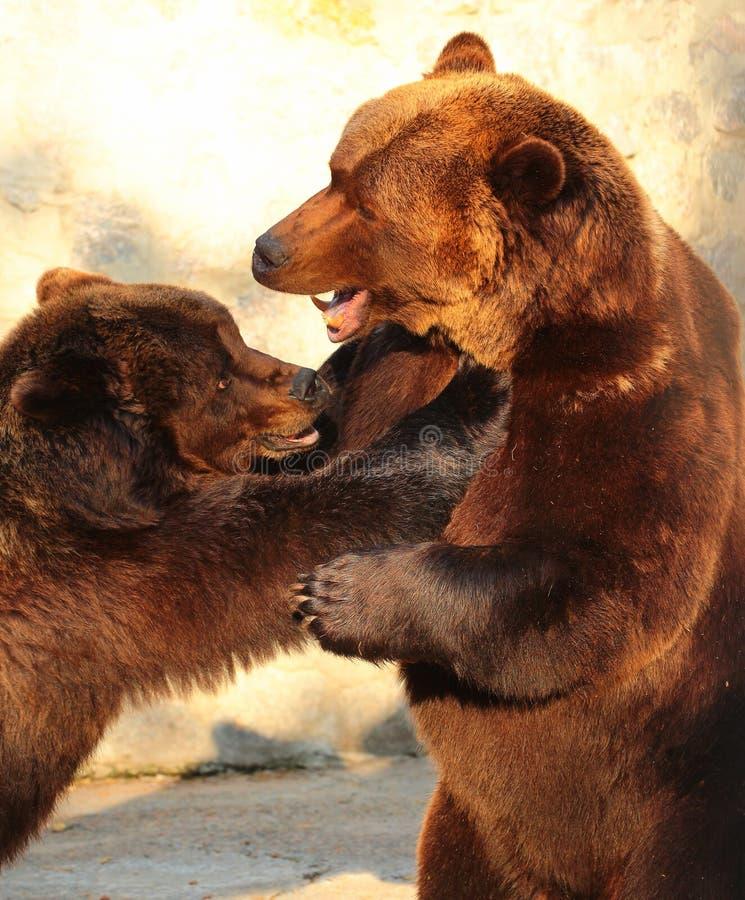 Dois ursos marrons (arctos do Ursus) que jogam em um jardim zoológico imagens de stock royalty free
