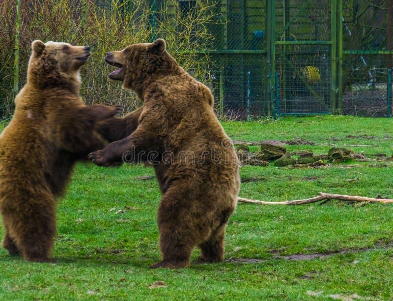 Dois ursos marrons engraçados que jogam um com o otro, animais comuns em Eurasia foto de stock