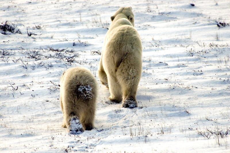 Dois ursos polares fotos de stock