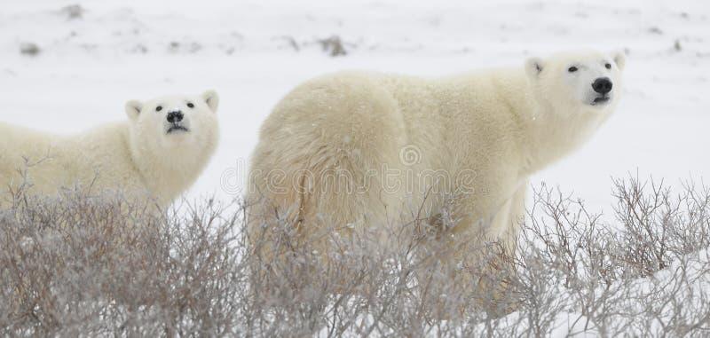 Dois ursos polares imagens de stock