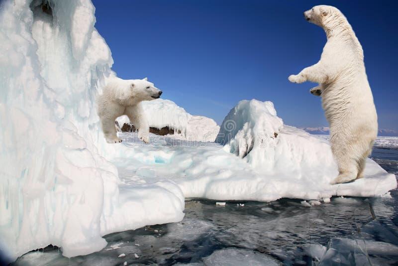 Dois ursos polares brancos