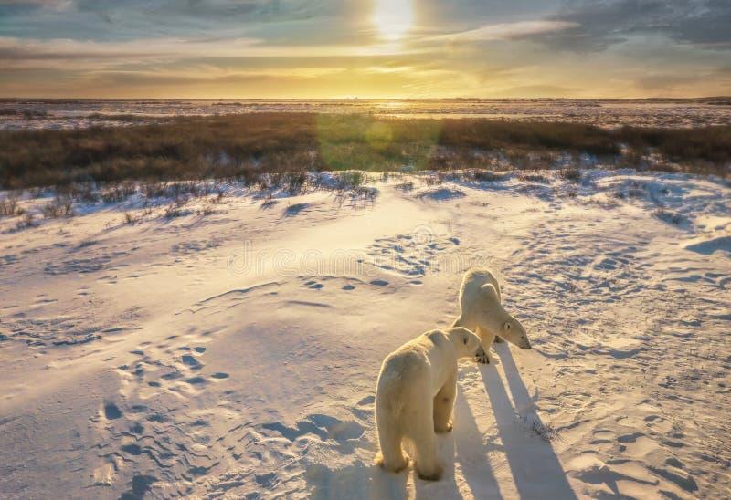 Dois ursos polares em seu habitat natural fotografia de stock royalty free