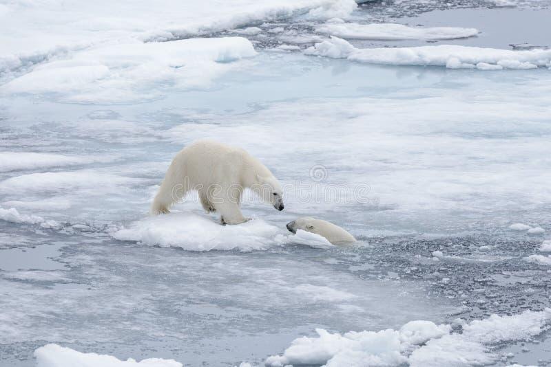 Dois ursos polares selvagens novos que jogam no gelo de bloco fotografia de stock royalty free