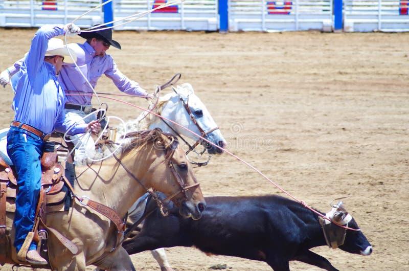 Dois vaqueiros rope uma vitela no rodeio fotos de stock royalty free