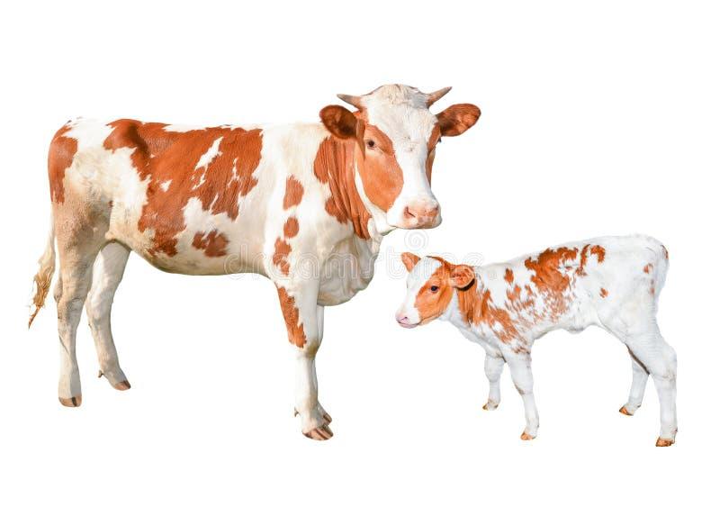 Dois vermelhos e brancos bonitos mancharam as vacas isoladas no fundo branco Comprimento completo novo engraçado da vaca e da vit fotografia de stock