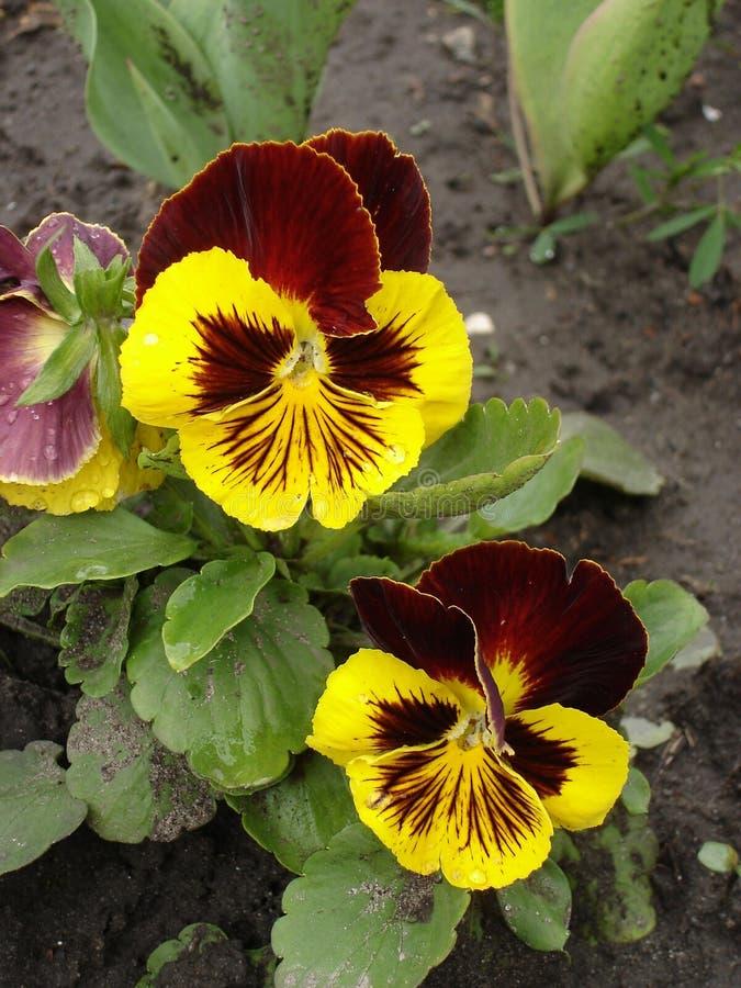 Dois vermelhos e o amor perfeito amarelo da mancha florescem 'Giants majestoso' imagens de stock