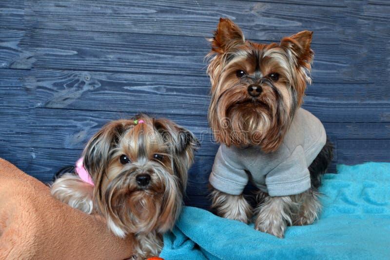Dois yorkshires terrier bonitos nas mantas imagens de stock