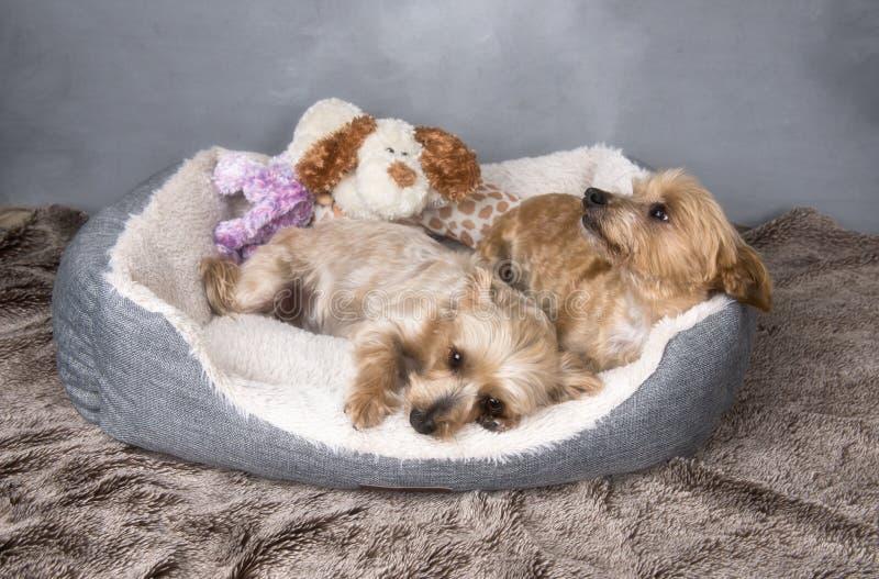 Dois yorkshires terrier bonitos que colocam em sua cesta fotos de stock royalty free