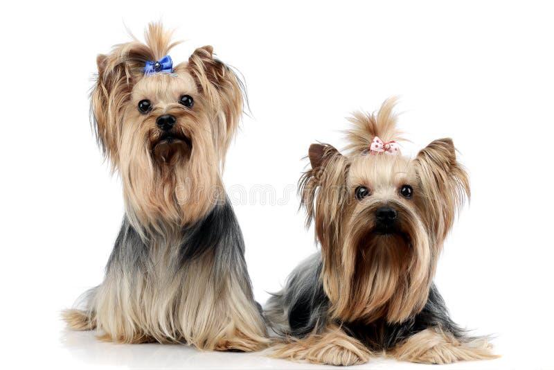Dois yorkshires terrier doces que relaxam no estúdio do wehite fotografia de stock