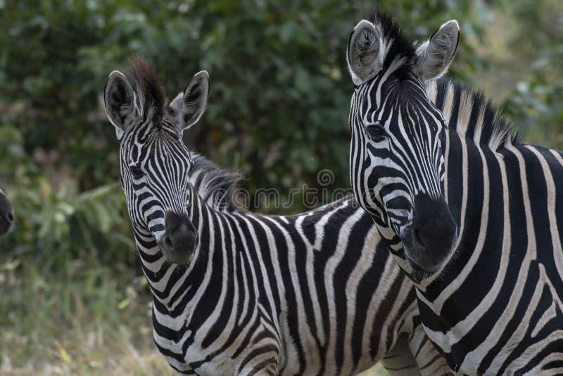 Dois zebra, Equus que olha a câmera imagem de stock royalty free