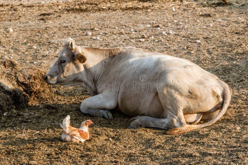 Download Dojne Krowy Na Zewnątrz Ich Stajni Zdjęcie Stock - Obraz złożonej z milka, wiejski: 57667612
