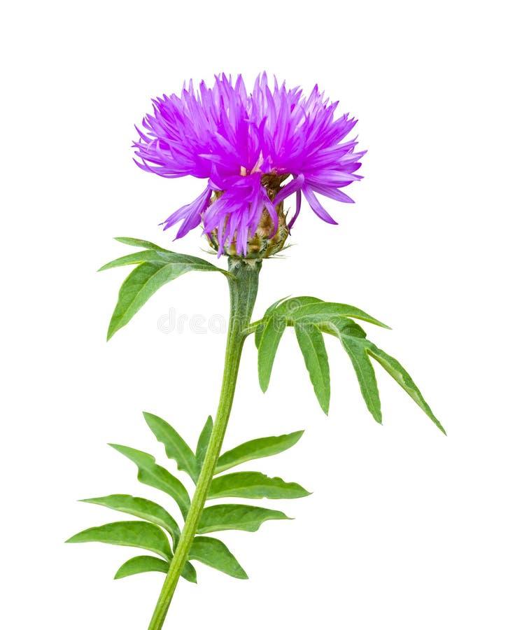 Dojnego osetu kwiat Dojny oset Kwiatonośny Dojny oset na whi zdjęcia stock