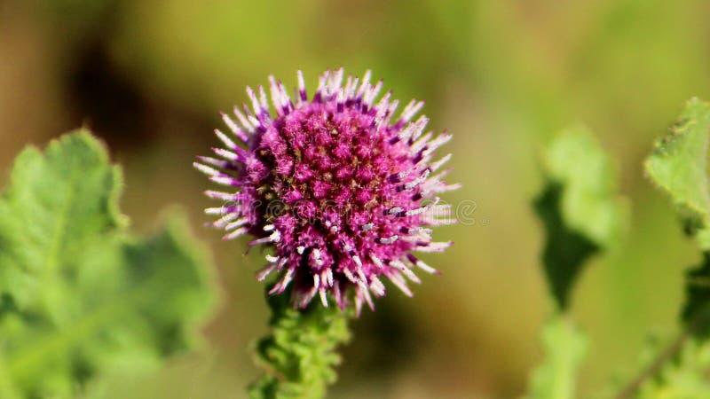 Dojnego osetu kwiat obraz stock