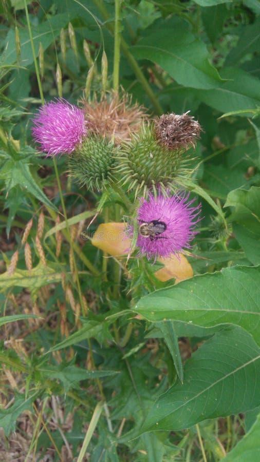 Dojny oset z Mamrocze pszczoły obrazy stock