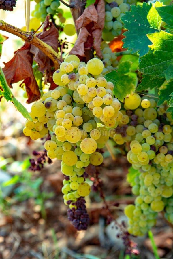 Dojrzałe białego wina winogron rośliny na winnicy w Francja, biały dojrzały muszkatołowego winogrona nowy żniwo obrazy stock
