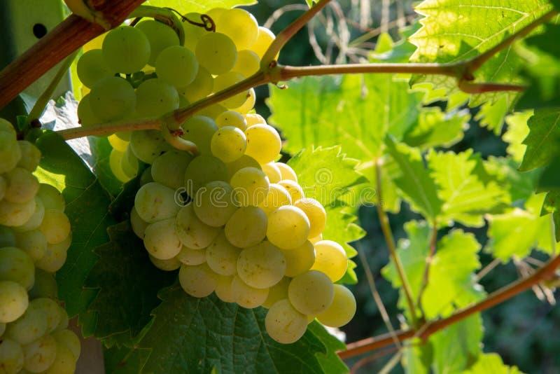Dojrzałe białego wina winogron rośliny na winnicy w Francja, biały dojrzały muszkatołowego winogrona nowy żniwo zdjęcia royalty free