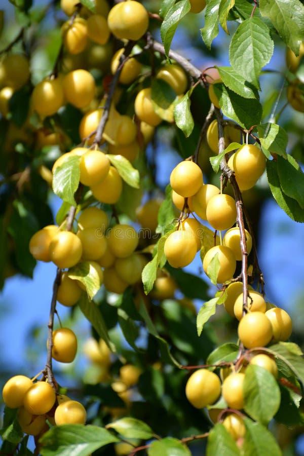 Dojrzała żółta czereśniowa śliwka (Prunus cerasifera) fotografia stock