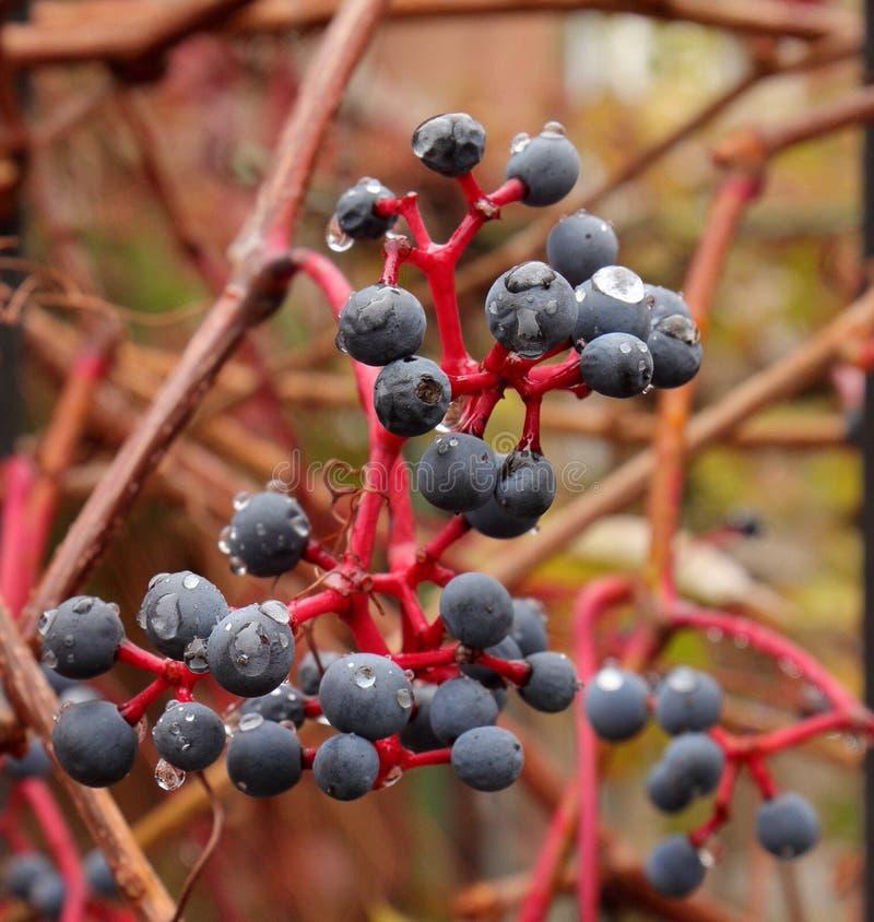 Dojrzała Blackcurrant owoc z ranek rosą obraz royalty free
