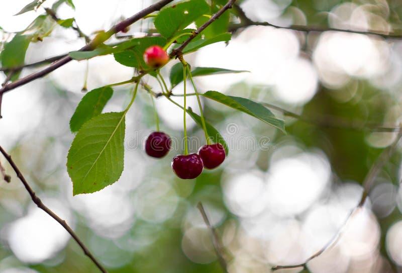 Dojrzała czerwona wiśnia na gałąź na tle zielony ulistnienie i piękny bokeh Makro- wiśnia obraz royalty free