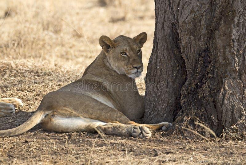 Dojrzała dzika lwica zdjęcia royalty free