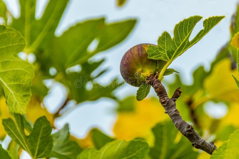 Dojrzała figa na drzewie, zakończenie w górę, miękka ostrość fotografia royalty free